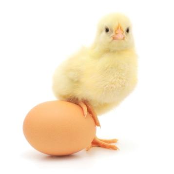 civciv ve yumurta