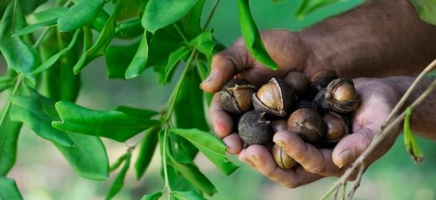 Rosebank macadamia farmer Peter Fraser pictured 22nd September 2013 . photo Jacklyn Wagner